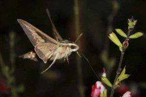 sphinx-moth-with-tongue-extended