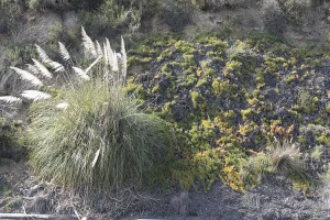 tecolote-canyon-pampas-and-iceplant