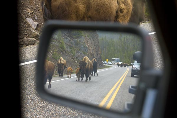 Bison jam, Yellowstone