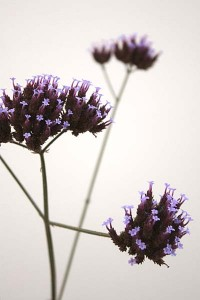 verbena-bonariensis-with-white-background