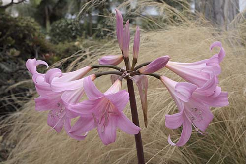Lycoris squamingera closeup