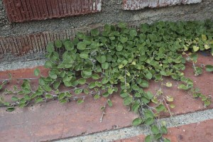 western-dichondra-on-bricks