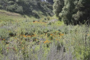 wrong-poppies-in-san-clemente-canyon
