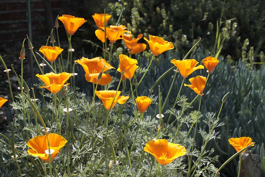 California Native Plant Week Lost In The Landscape