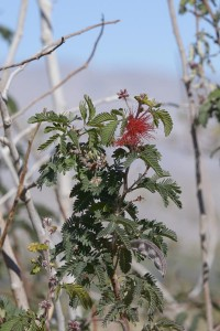 Calliandra eriophylla at ABDSP