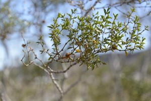January greasewood Larrea tridentata at ABDSP