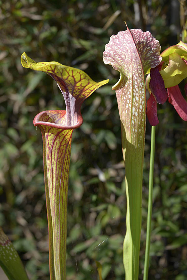 Up close and personal with Sarracenia flava var. ornata, Prince George County and Sarracenia excellens