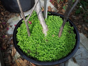 Scarlet pimpernel seedlings en masse