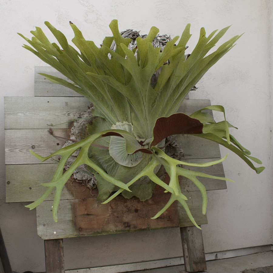 how to fix a staghorn
